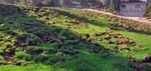Wild Pigs Tearing Up San Jose Golf Course