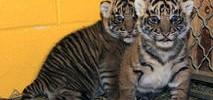 WATCH: Tiger Cubs Pass Swim Test