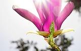 SF Botanical Gardens - Golden Gate Park - 032214 - 02 - Lily Magnolia
