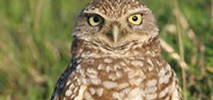 Owls Found Dead on Mountain View Golf Course