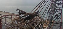 Livestream Offers Intimate View of Bay Area Osprey Family