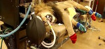 Watch: National Zoo Lion Gets Dental Checkup
