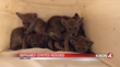 Five Adorable Coyote Pups Were Rescued After Their Mom Was Killed In A Hit-And-Run