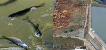 Star-Crossed Salmon Survive Spillway's Erosion But Suffocate