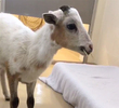 Video: Adorable Escaped Lamb Rescued By Fremont PD
