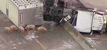 Big Rig Spills Pigs in Texas Highway Crash