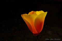 SF Richmond District - 060317 - 06 - California Poppies