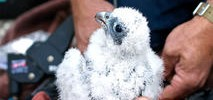 Baby Falcon Dies After Slamming Into Window at UC Berkeley