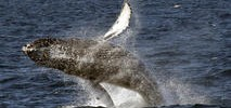 California Rescuers Free Whale Snagged by Fishing Anchors