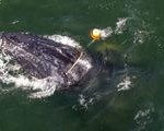 Humpback Whale Snarled in Fishing Equipment Freed