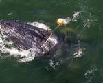 Humpback Whale Snarled in Fishing Equipment Freed