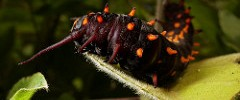 SF Botanical Garden - Golden Gate Park - 070217 - 02 - Pipevine Swallowtail Butterfly Caterpillar