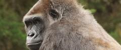 San Francisco Zoo - 082317 - 11 - Western Lowland Gorilla