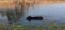Cow Takes a Dip in Gilroy Pond Amid Scalding Heat Wave