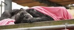 San Francisco Zoo - 082317 - 39 - Chimpanzee