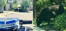 San Ramon Police Spot Two Cows Roaming Neighborhood