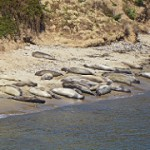 Elephant Seals, Point Reyes