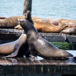 San Francisco Sea Lions-3
