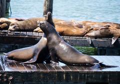 San Francisco Sea Lions-3