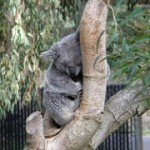 A Koala at SF Zoo