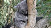 A Koala at SF Zoo