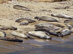 Elephant Seals, Point Reyes